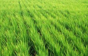 原種黒米の産地。