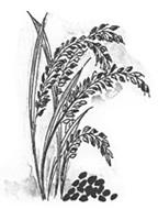野生種黒米