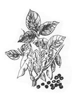 野生種黒大豆