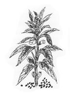 野生種黒胡麻