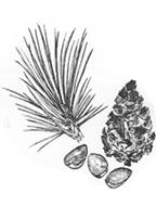 野生種黒松の実